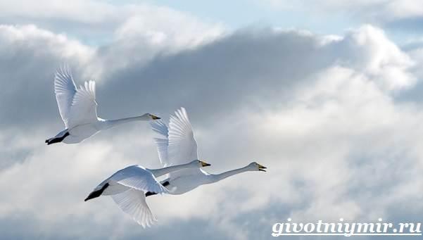 Лебедь-птица-Образ-жизни-и-среда-обитания-лебедя-5