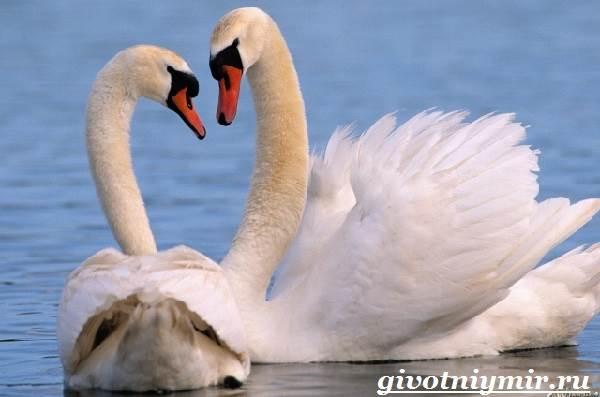 Лебедь-птица-Образ-жизни-и-среда-обитания-лебедя