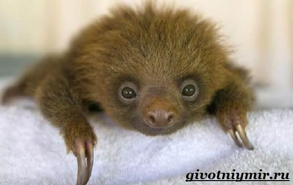 Ленивец-животное-Образ-жизни-и-среда-обитания-ленивца-11