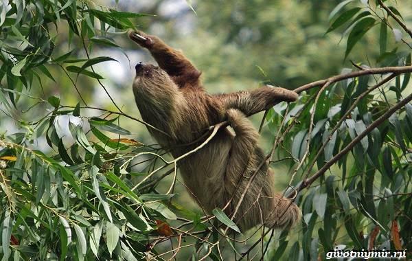 Ленивец-животное-Образ-жизни-и-среда-обитания-ленивца-12