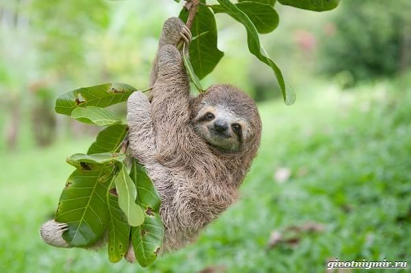 Ленивец-животное-Образ-жизни-и-среда-обитания-ленивца-13