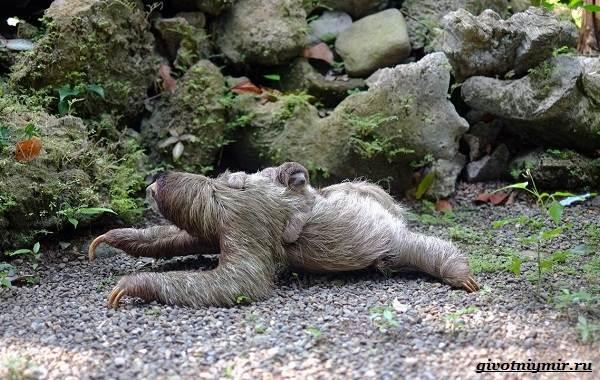 Ленивец-животное-Образ-жизни-и-среда-обитания-ленивца-14