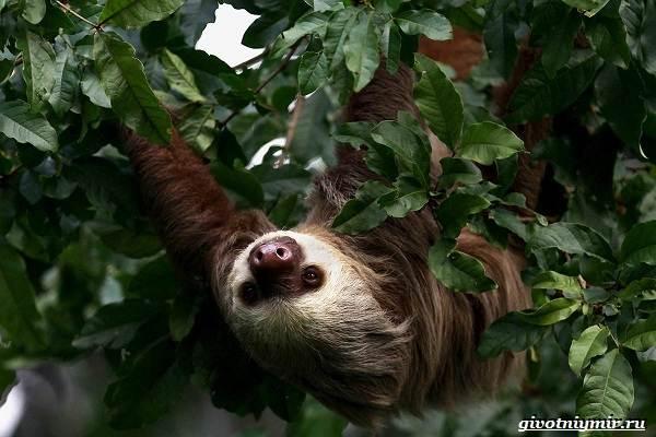 Ленивец-животное-Образ-жизни-и-среда-обитания-ленивца-15