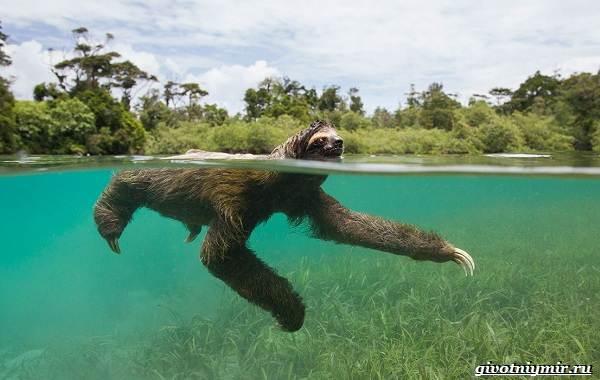 Ленивец-животное-Образ-жизни-и-среда-обитания-ленивца-16