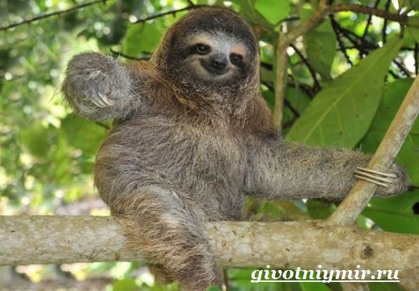 Ленивец-животное-Образ-жизни-и-среда-обитания-ленивца-2
