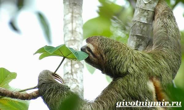 Ленивец-животное-Образ-жизни-и-среда-обитания-ленивца-4-1