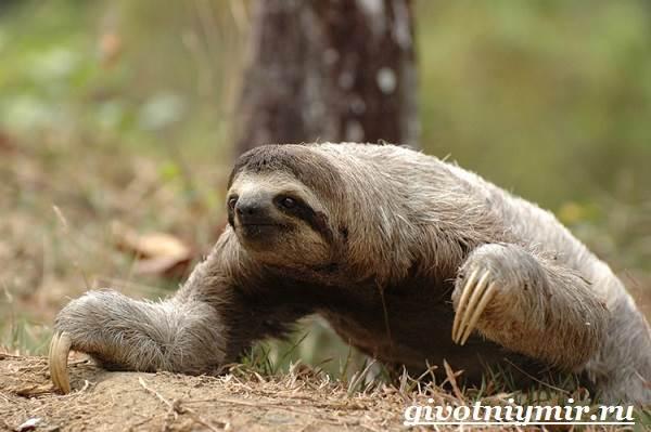 Ленивец-животное-Образ-жизни-и-среда-обитания-ленивца-6