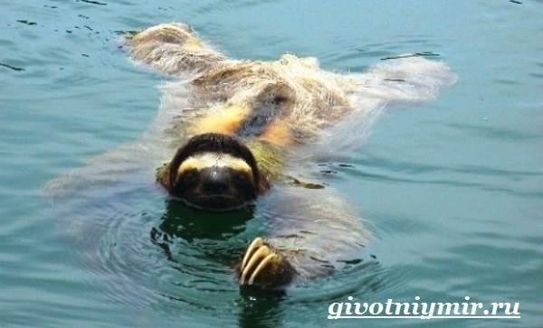 Ленивец-животное-Образ-жизни-и-среда-обитания-ленивца-7