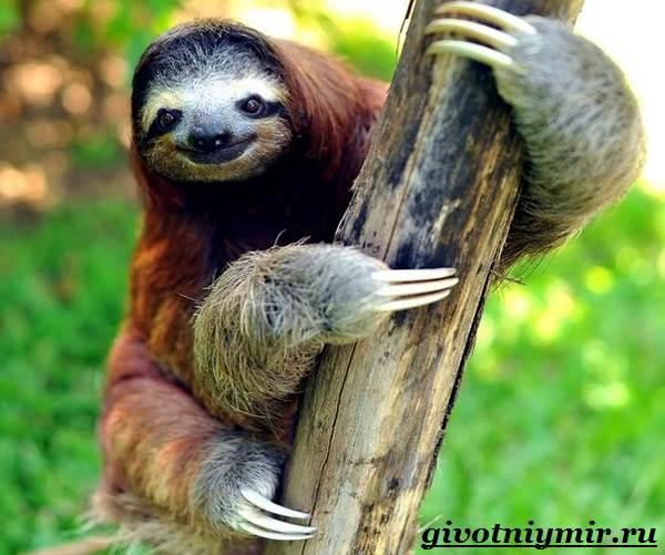 Ленивец-животное-Образ-жизни-и-среда-обитания-ленивца-8