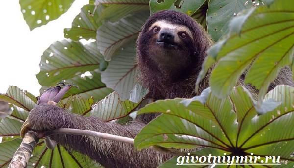 Ленивец-животное-Образ-жизни-и-среда-обитания-ленивца-9
