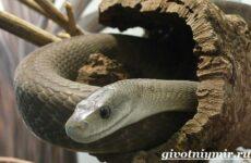 Мамба черная змея. Образ жизни и среда обитания черной мамбы