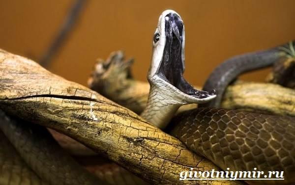 Мамба-черная-змея-Образ-жизни-и-среда-обитания-черной-мамбы-6