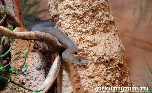 Мамба-черная-змея-Образ-жизни-и-среда-обитания-черной-мамбы-7