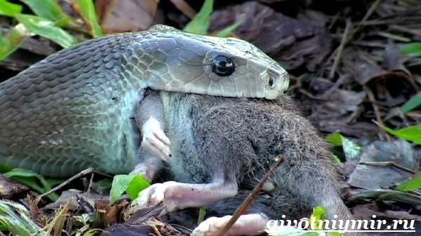 Мамба-черная-змея-Образ-жизни-и-среда-обитания-черной-мамбы-8