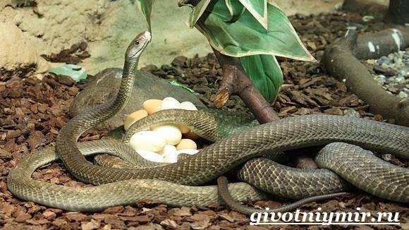Мамба-черная-змея-Образ-жизни-и-среда-обитания-черной-мамбы-9