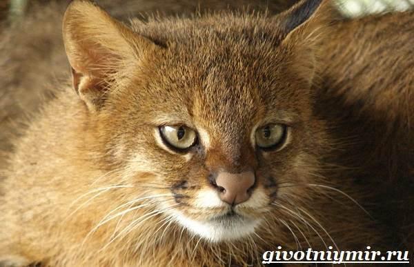 Пампасская-кошка-Образ-жизни-и-среда-обитания-пампасской-кошки-1