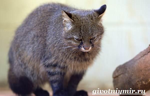 Пампасская-кошка-Образ-жизни-и-среда-обитания-пампасской-кошки-2