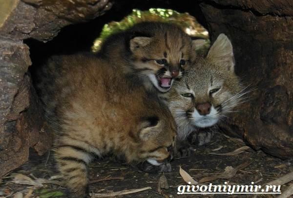 Пампасская-кошка-Образ-жизни-и-среда-обитания-пампасской-кошки-3