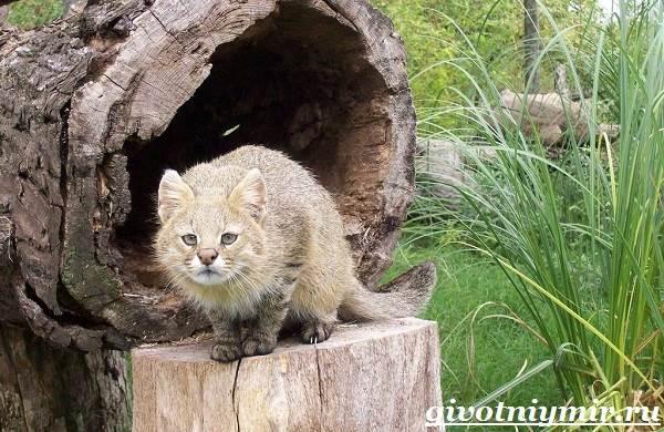 Пампасская-кошка-Образ-жизни-и-среда-обитания-пампасской-кошки-4