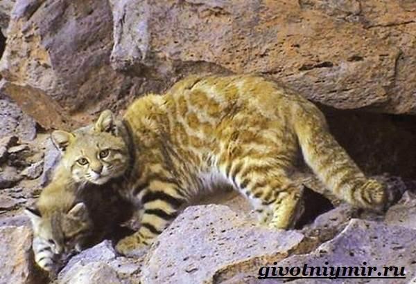 Пампасская-кошка-Образ-жизни-и-среда-обитания-пампасской-кошки-5