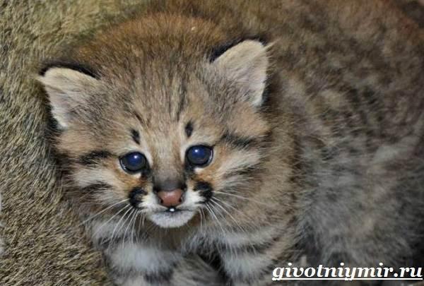 Пампасская-кошка-Образ-жизни-и-среда-обитания-пампасской-кошки-7