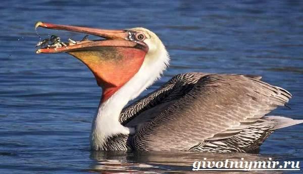 Пеликан-птица-Образ-жизни-и-среда-обитания-пеликана-1