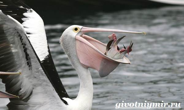 Пеликан-птица-Образ-жизни-и-среда-обитания-пеликана-2