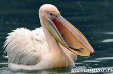 Пеликан птица. Образ жизни и среда обитания пеликана