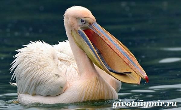 Пеликан-птица-Образ-жизни-и-среда-обитания-пеликана-4