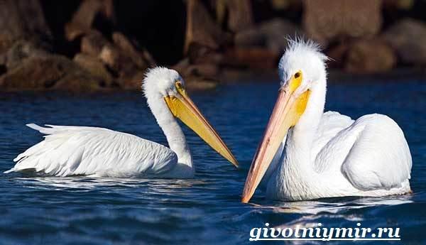 Пеликан-птица-Образ-жизни-и-среда-обитания-пеликана-5
