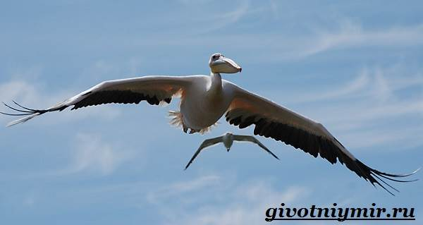 Пеликан-птица-Образ-жизни-и-среда-обитания-пеликана-7
