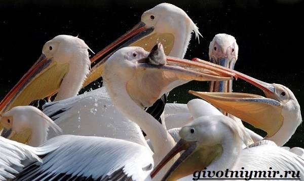 Пеликан-птица-Образ-жизни-и-среда-обитания-пеликана-8