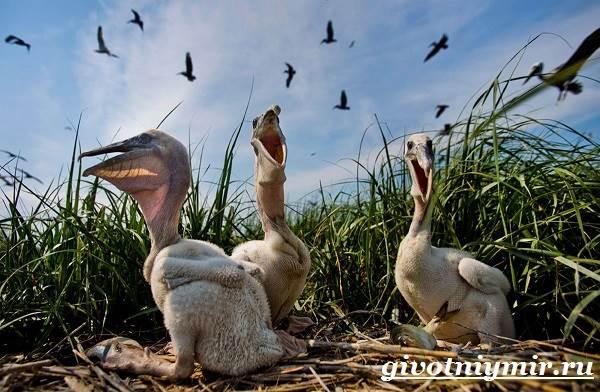 Пеликан-птица-Образ-жизни-и-среда-обитания-пеликана-9