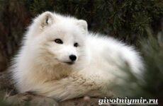 Песец животное. Образ жизни и среда обитания песца