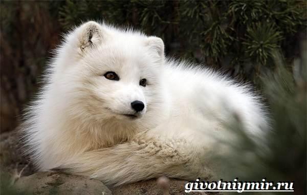 Песец-животное-Образ-жизни-и-среда-обитания-песца-1