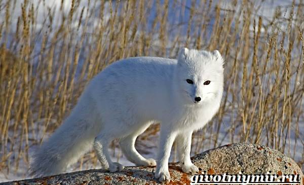 Песец-животное-Образ-жизни-и-среда-обитания-песца-2