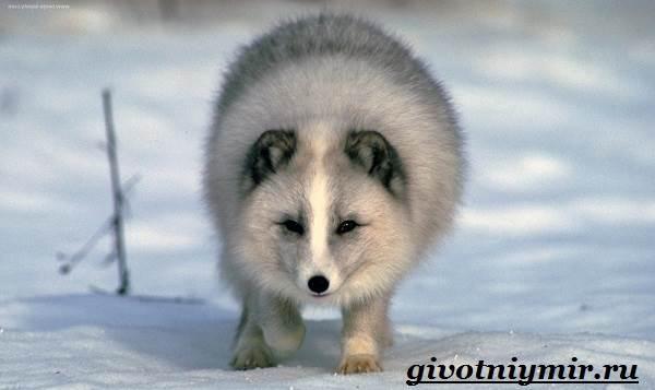 Песец-животное-Образ-жизни-и-среда-обитания-песца-4