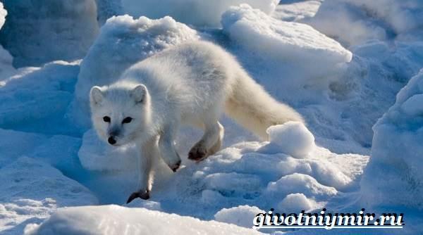 Песец-животное-Образ-жизни-и-среда-обитания-песца-6