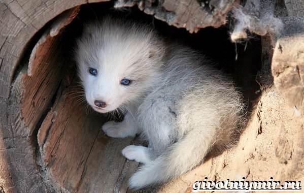 Песец-животное-Образ-жизни-и-среда-обитания-песца-7