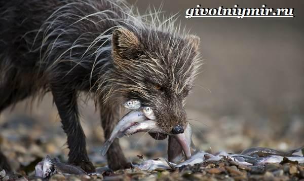 Песец-животное-Образ-жизни-и-среда-обитания-песца-9