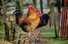 Петух птица. Образ жизни и среда обитания петуха
