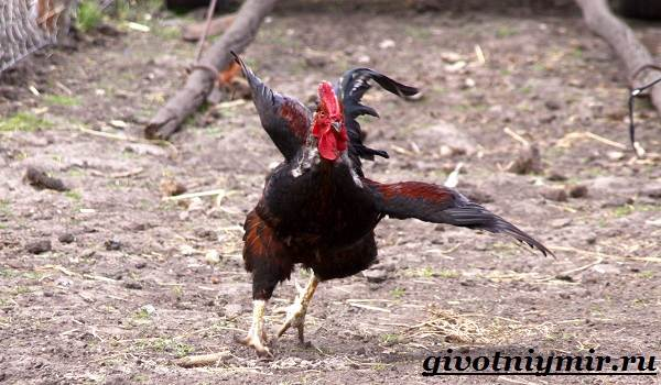 Петух-птица-Образ-жизни-и-среда-обитания-петуха-3
