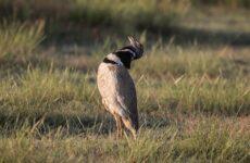 Птица стрепет. Среда обитания и образ жизни стрепета