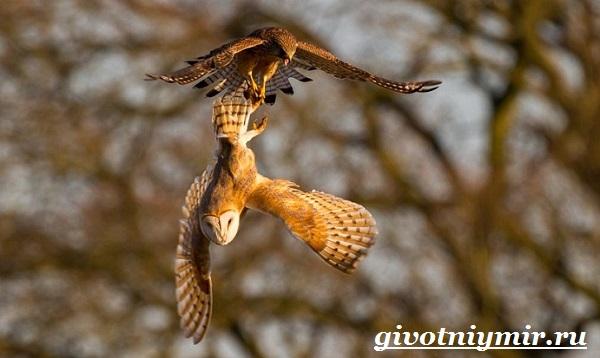 Пустельга-птица-Среда-обитания-и-образ-жизни-пустельги-10