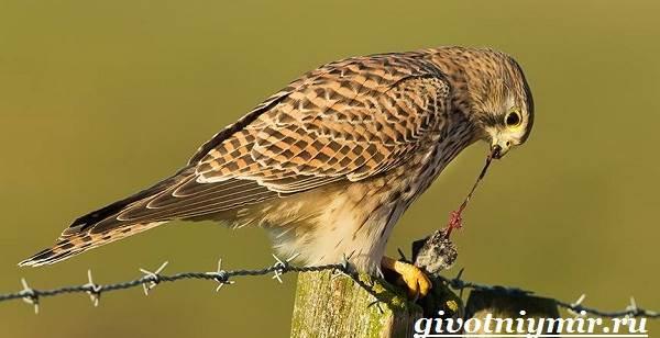 фото пустельга птица