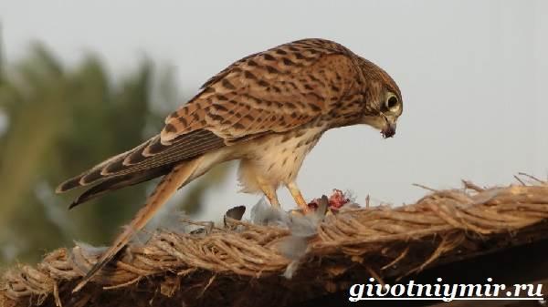 Пустельга-птица-Среда-обитания-и-образ-жизни-пустельги-4