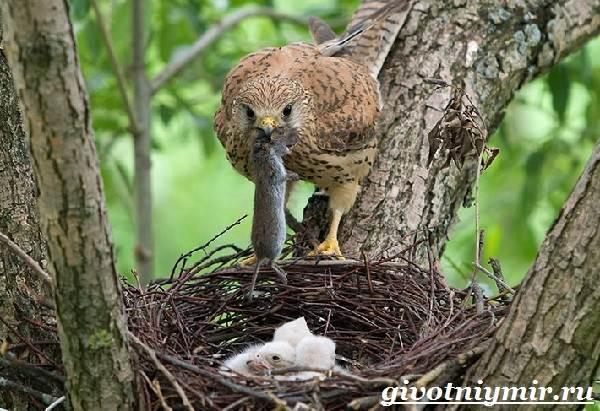 Пустельга-птица-Среда-обитания-и-образ-жизни-пустельги-6