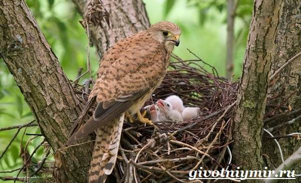 Пустельга-птица-Среда-обитания-и-образ-жизни-пустельги-8