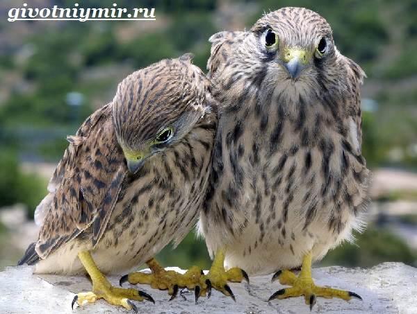 Пустельга-птица-Среда-обитания-и-образ-жизни-пустельги-9