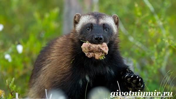Росомаха-животное-Образ-жизни-и-среда-обитания-росомахи-10
